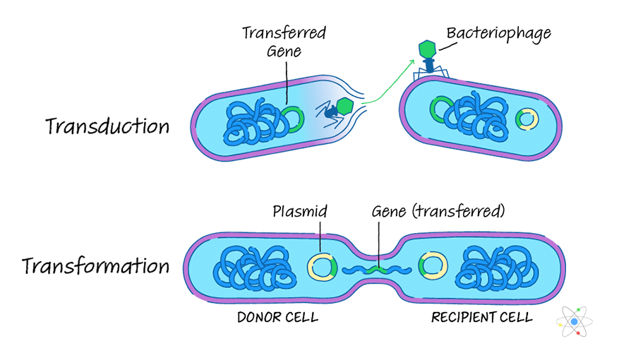 Transduction Process in Bacteria And Its Types