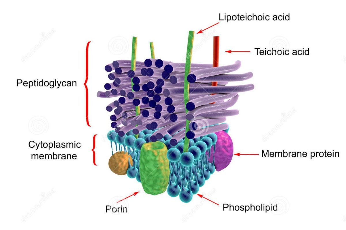 Bacterial Cell wall OR Cell Envelope