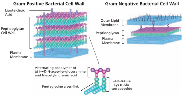 Difference between gram positive and gram negative bavteria