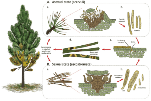 Pinus Plant Production and life Cycle